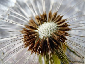 dandelion-440991_640